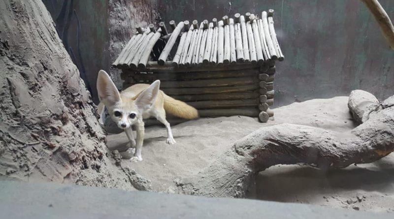 Шымкент зообағына әлемдегі ең кішкентай түлкі әкелінді