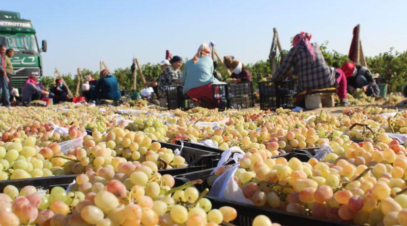 Түркістан: Жетісайлық жүзімдер Ресейге жөнелтілуде